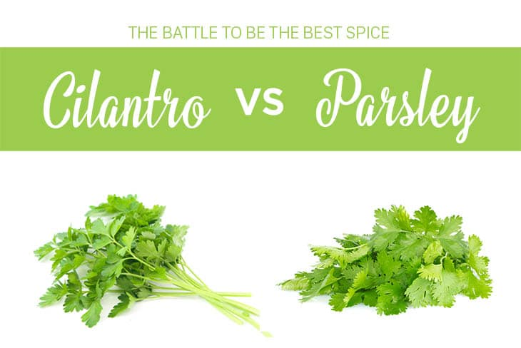 cilantro vs parsley the battle to be the best spice cuisinebank